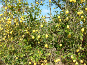 Local orange and lemon orchards